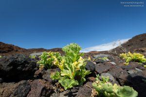 Vulkangestein Pflanze
