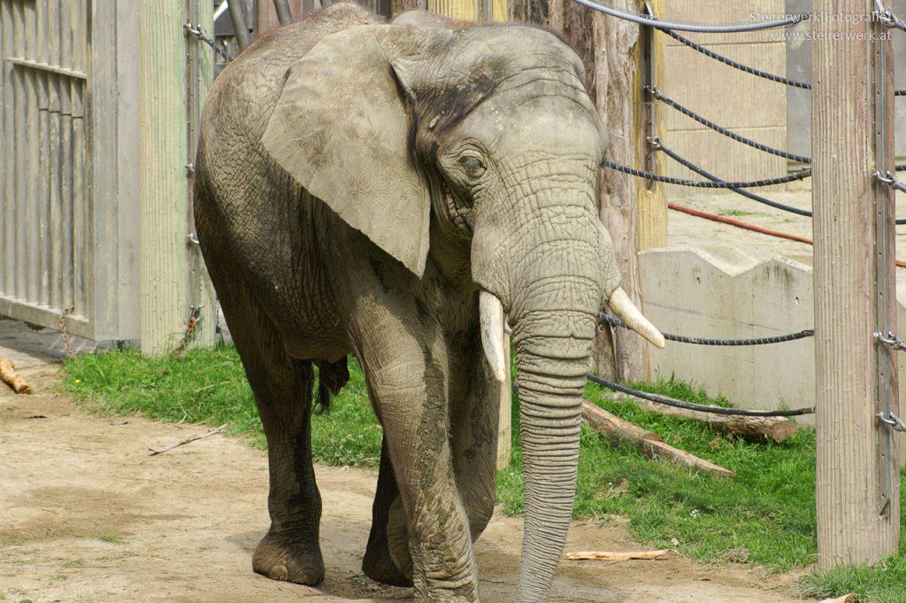 Elefant im Tiergarten Schönbrunn