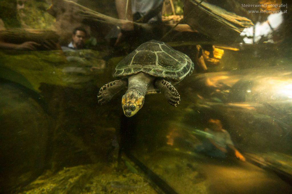 Schildkröte Aquarium